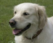 Golden Retriever: Often Used as Guide Dogs