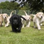Labrador Golden retriever puppies