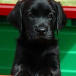 Sponsor A Puppy: Cracker