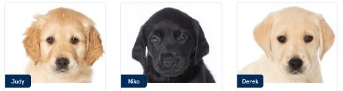 Judy, Niko and Derek, Guide Dog Puppies
